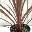 コルジリネ オーストラリス レッドスター(観葉植物 寄せ植え カラーリーフ 12cmポット)