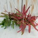プセウドリプサリス ラムローサ(観葉植物 吊り 5号)
