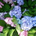 四季咲あじさい 霧島の恵(アジサイ 紫陽花 ハイドランジア 10.5cmポット)