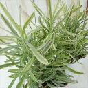 イングリッシュラベンダー プラチナブロンド(希少品種 カラーリーフ 耐寒性多年草 7.5cmポット)