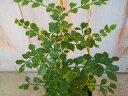 細かなグリーンの葉が魅力的なシマトネリコ