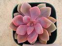 グラプトベリア 多肉植物