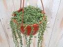 グリーンネックレス(6号吊り・インテリア・観葉植物・多肉植物)