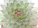 センペルビウム シャンハイ 多肉植物