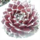 センペルビウム 多肉植物