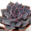hmエケベリア シャビアナ(多肉植物 エケベリア 6cmポット)