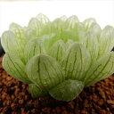 guハオルチア シンビフォルミス グラキリデリネアータ 多肉植物 7.5cmポット