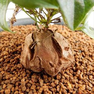 キッコウリュウ 多肉植物