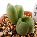 asコノフィツム 花園(多肉植物 コノフィツム メセン 6cmポット)