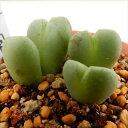 コノフィツム 多肉植物