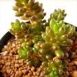 swセダム レッドベリー(多肉植物 セダム 7.5cmポット)