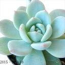skエケベリア ラウリンゼ(多肉植物 エケベリア 7.5cmポット)