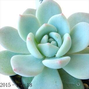エケベリア ラウリンゼ 多肉植物