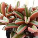 ペペロミア グラベオレンス 多肉植物