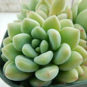 クラバツム 多肉植物