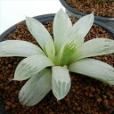 guハオルチア オブツーサ錦 多肉植物 7.5cmポット