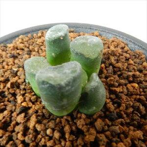 ハオルチア 多肉植物