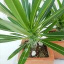 caパキポディウム ラメリー(多肉植物 コーデックス パキポディウム 2.5号サイズ 陶器鉢)
