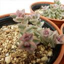 swクラッスラ パステル(多肉植物 6cmポット)