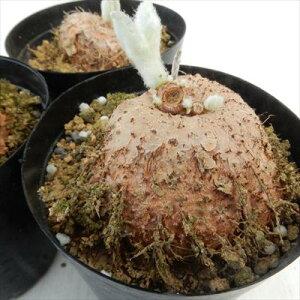 シニンギア レウコトリカ 多肉植物 コーデックス