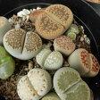 giリトープスばらまき(メセン 多肉植物 10.5cmポット)