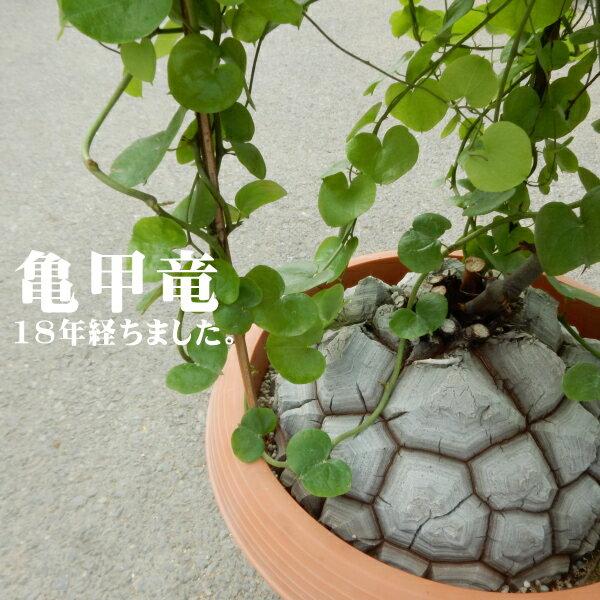 超貴重!!ディオスコレア 亀甲竜(アフリカキッコウリュウ 18年物 現品販売 レアもの)