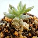 spアドロミスクス シュルドチアヌス(多肉植物 アドロミスクス 7.5cmポット)