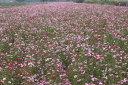 ワイルドフラワー 景観植物のたね「コスモス 1リットル入」 【春】【宅配便対応】
