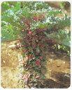 マスダ交配 非結球芽キャベツ プチヴェールルージュ(プチベールルージュ) 9cmポット苗2本セット