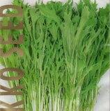 サラダ京水菜(お徳用20ml) 【春】【秋】(ミズナ) 【郵送対応】