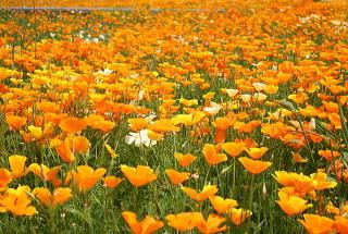 ワイルドフラワー 景観植物のたね「ハナビシソウ(カリフォルニアポピー) 1リットル入」 【宅配便対応】