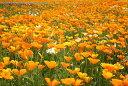 ワイルドフラワー 景観植物のたね「ハナビシソウ(カリフォルニアポピー) 1デシリットル入」 【郵送対応】