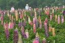 ワイルドフラワー 景観植物のたね「ルピナス 1デシリットル入」 【郵送対応】