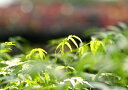 虫よけの木「ニーム」12cmポット苗★お買い得4本セット★【送料無料】【在庫処分セール】