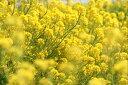 ワイルドフラワー 景観植物のたね「菜の花(ナノハナ、アブラナ、あぶらな、ナタネ、なたね) 1リットル入」 【宅配便対応】