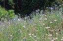 ワイルドフラワー 景観植物のたね「矢車草(やぐるまそう、ヤグルマソウ、セントーレア)混合 10ミリリ
