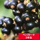 【ベンストーク】 ブラックカーラント(カシス) [3年生苗] 黒房スグリ苗木【05P03Sep16】