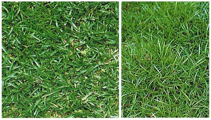 西洋芝の種ティフブレア240g 4.8坪(16平方メートル)分