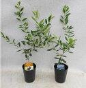 オリーブ 苗木 エルグレコ&ネバディロブランコ 2種(本)セット 樹高約40センチ 3.5号ポット