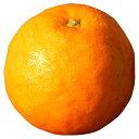 柑橘類の苗 【 セミノール 1年生苗木 】 [ 雑柑 オレンジ かんきつ カンキツ 柑橘 苗 ]
