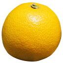 柑橘類の苗 【 八朔 ( はっさく ) 2年生苗木 】 [ 雑柑 オレンジ かんきつ カンキツ 柑橘 苗 ]