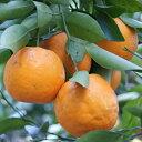 柑橘類の苗 【 ポンカン 1年生苗木 】 [ 雑柑 オレンジ かんきつ カンキツ 柑橘 苗 ]