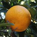 柑橘類の苗 【 甘夏 ( あまなつ ) 1年生苗木 】 [ 雑柑 オレンジ かんきつ カンキツ 柑橘 苗 ]