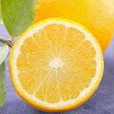 柑橘類の苗 【 スイートレモネード 2年生苗木 】 [ 香酸柑橘 香り かんきつ カンキツ 柑橘 苗 ]