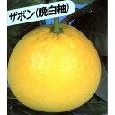 柑橘類の苗 【 晩白柚 ( ばんぺいゆ 別名: ザボン ) 1年生苗木 】 [ 雑柑 オレンジ かんきつ カンキツ 柑橘 苗 ]