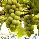 果樹苗 ブドウ 【 ナイアガラ 1年生苗 】 [ 葡萄 ぶどう 果樹苗木 販売 ]