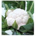 カリフラワー 種 【 雪まつり 】 種子 20ml ( 種 ...