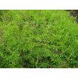 緑肥・牧草 種 【 ヘアリーベッチ まめ助 】 種子 1kg ( 種 野菜 野菜種子 野菜種 )