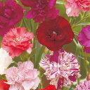 カーネーション 種 【 アンファンドニース混合 】 小袋 ( カーネーションの種 花の種 )