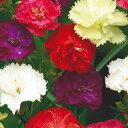 カーネーション 種 【 シャボー混合 】 小袋 ( カーネーションの種 花の種 )